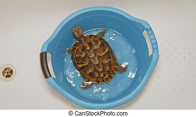 Red-eared pet turtle is trying to escape from plastic basin with shallow water top view