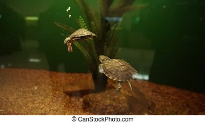 Red eared pond sliders fighting for food and swims in aquarium.