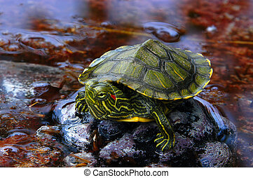 Red-Eared Slider 2 - A red-eared slider sitting on a rock in...