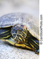 Red eared slider turtle - Close up of red eared slider ...