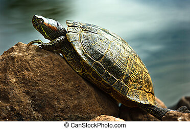 Red-eared sliders - A Red Eared Slider Tortoise Resting on a...