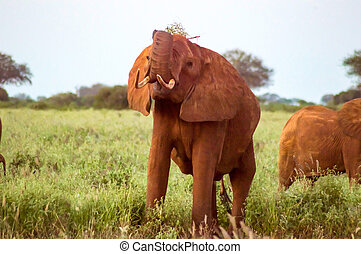 Red elephants in the savannah