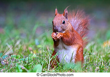 Red Eurasian squirrel looking at the watcher