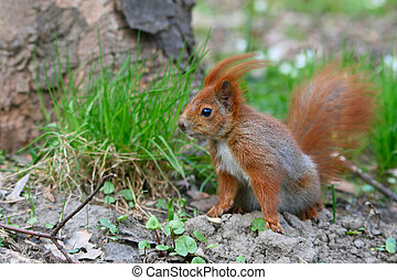 Red Eurasian squirrel on the grass