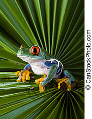 Frog - small animal with smooth skin and long legs that are used for jumping. Frogs live in or near water. / The Agalychnis callidryas, commonly know as the Red-eyed tree Frog is a small (50-75 mm / 2-3 inches) tree frog native to rainforests of Central America.