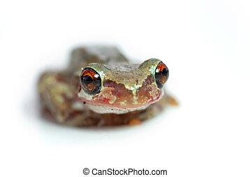 red eye tree frog looking goofy