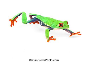 red eye treefrog frog crawling macro isolated exotic curious...