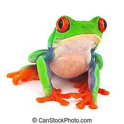 red eye treefrog macro isolated exotic frog curious animal...
