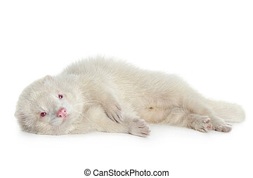 Red eyed albino ferret