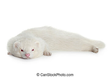 Red eyed albino ferret, lying on white background