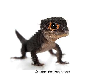 Red-eyed crocodile skinks, tribolonotus gracilis, on white...