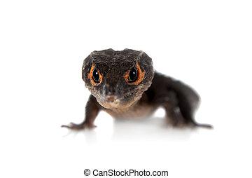 Red-eyed crocodile skinks, tribolonotus gracilis, on white -...