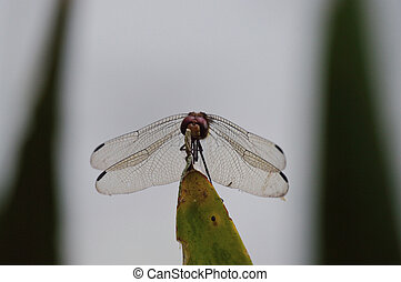 red eyed dragonfly