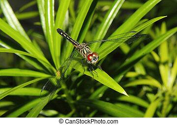 Red Eyed Dragonfly on a leaf