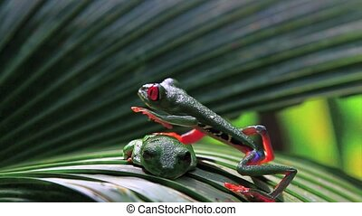Red eyed frog five,Costa Rica - Red eyed frog,Costa Rica