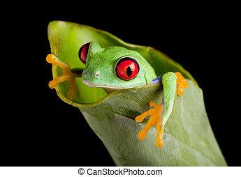 Red eyed frog in banana leaf