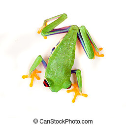 Red eyed frog on white - Red eyed tree frog isolated on...