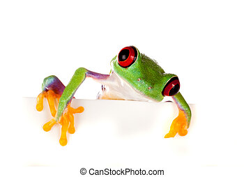 Red eyed frog peeping - Young red eyed tree frog isolated on...