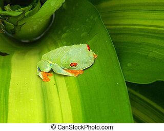 Red Eyed Frog - This is a photo of a red eyed from...