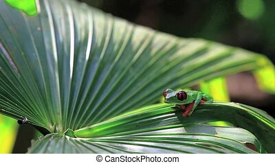 Red eyed frog seven,Costa Rica - Red eyed frog,Costa Rica