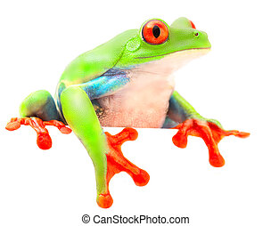 Red eyed monkey tree frog Achalignis callydrias