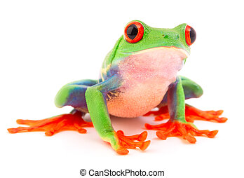Red eyed monkey tree frog