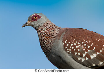 Red eyed Pigeon against blue sky taken at Treetops camp Kenya