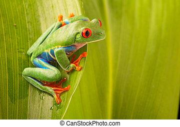 red eyed tree frog, Agalychnis callydrias