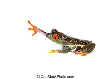 Red eyed tree frog, Agalychnis callidryas, at night isolated on white