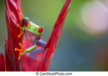 Red eyed tree frog from the rainforests of Central America