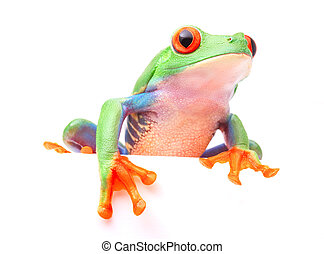 Red eyed tree frog from the tropical rain forest