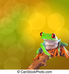 red eyed tree frog - Red eyed tree frog from Costa Rica rain...