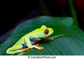 red eyed tree frog side