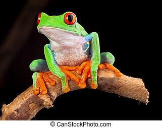 red eyed tree frog at night in tropical rainforest treefrog...