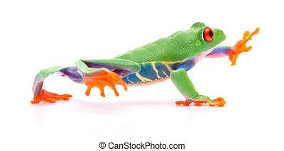 Red eyed tree frog walking