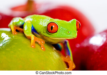 Red Eyed Tree Frog with fresh fruit - A red eyed tree frog...