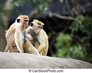 Red-faced Macaque monkeys