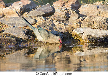 Red Faced Mouse Bird drinking water at  waterhole in the Kalahari