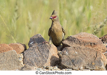 Red Faced Mouse Bird sitting on a rock at waterhole in the Kalahari