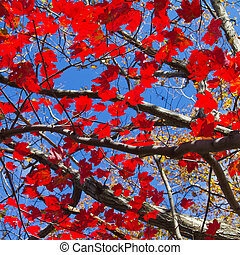 Red Fall Leaves and Blue Sky Background