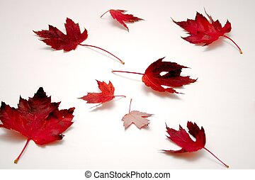 Red Fall Maple Leaves on White Background