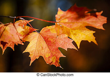 Red fall maple leaves - Closeup on red fall maple leaves...