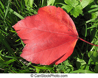 Red fallen leaf in the grass.