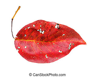 red fallen leaf of pear tree isolated on white