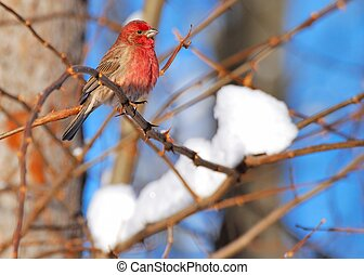 Red Finch perched on a tree branch.