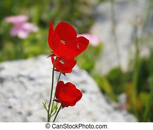 Red fine field flowers Anemone