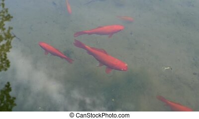 Red fish swims in the fountain. Red koi carps, brocade carp...