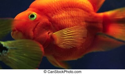 red fish underwater
