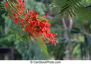 Red Flamboyant flower blooming on the branch of tree. ...