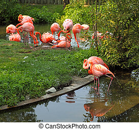 Red Flamingo - Group of red flamingo reflecting on the pond